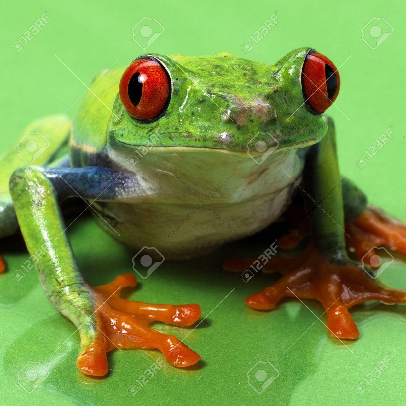 20874293-rote-Augen-Laubfrosch-Makro-isoliert-exotischen-Frosch ...