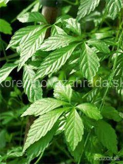 """Predám Päťlistý žen šeň - Jiaogulan /Gynostemma pentaphyllum/ v črepníku. Jiaogulan sa nazýva aj ako """"bylina nesmrteľnosti"""" alebo ako päťlistý ženšen. Je považovaná za najzdravšiu a najliečivejšiu bylinku sveta. Patrí do skupiny antioxidantov, adaptogénov, harmonizátorov a antistresorov. Je to bylinka, ktorá pozitívne vplýva na celý ľudský organizmus (na fyzickú aj psychickú ) rovnováhu. Vlastnosti: táto liečivá rastlina pochádza z hôr južnej Číny, ale rastie aj v Thajsku a v Japonsku nemá…"""
