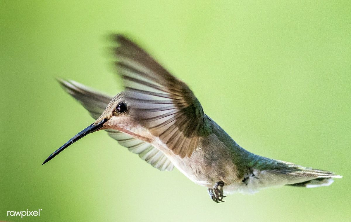 Tiny Hummingbird hovering mid air free image by rawpixel