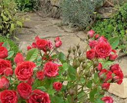 hermosas rosas  enterateyya