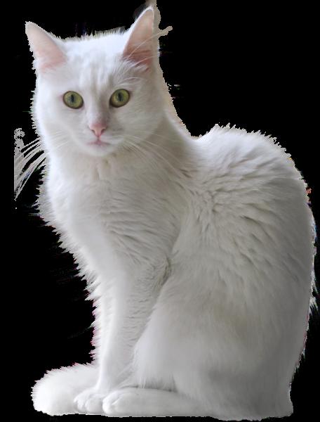 White Kitten Transparent Png Clipart White Kittens Animals Clip Art