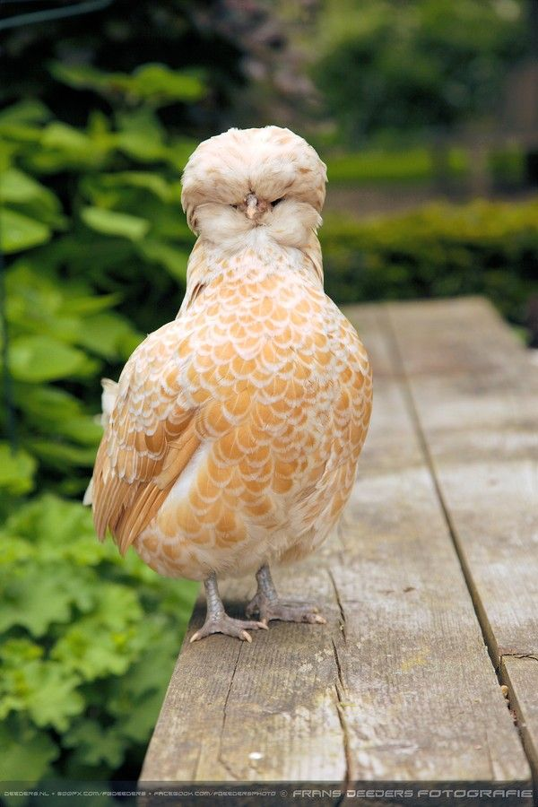 Golden Laced Polish Chicken Wonder If We Can Make One Of These