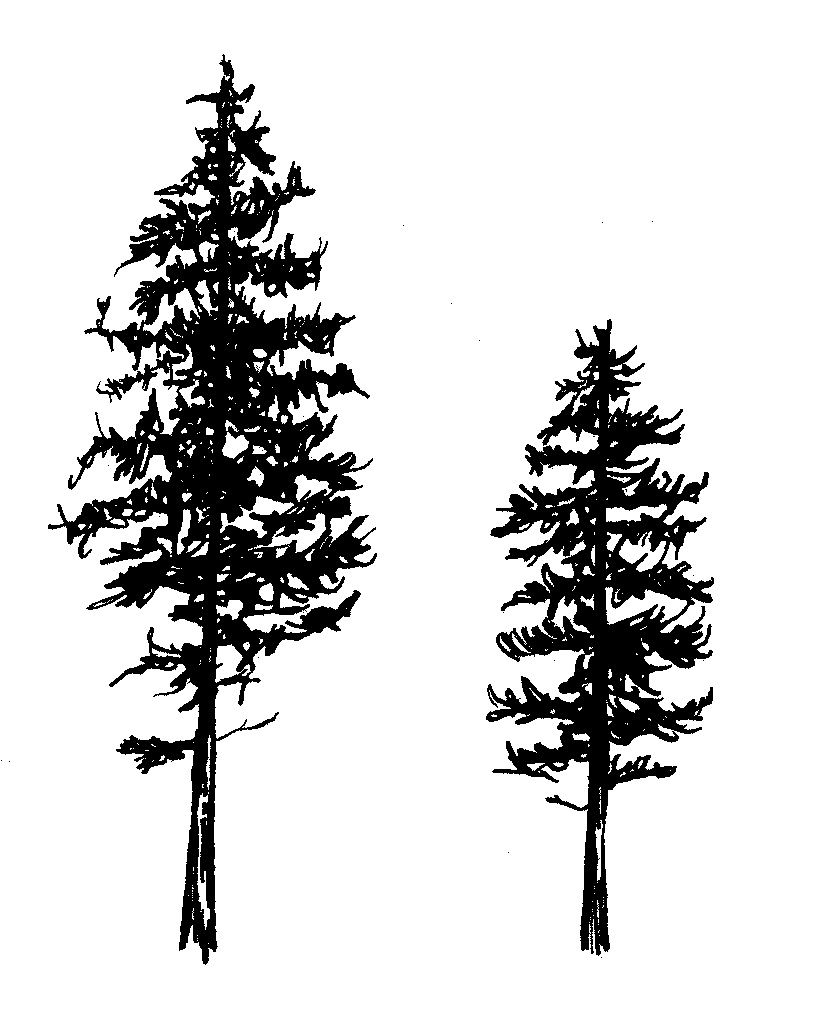 how to draw evergreen trees