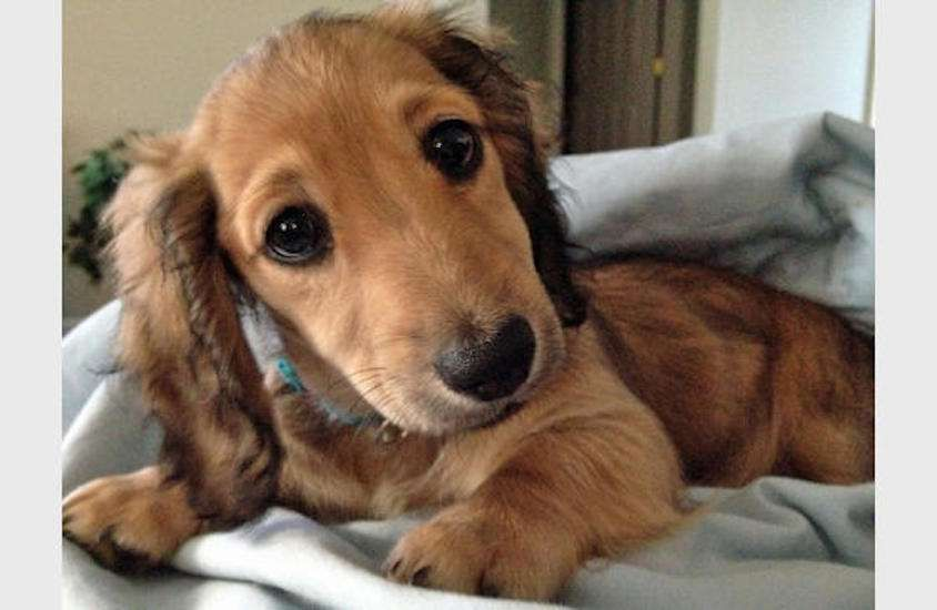The Cutest Dachshund Pictures Dachshund Puppies Puppies
