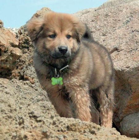 cute chow mix | Dogs | Pinterest | Husky mix