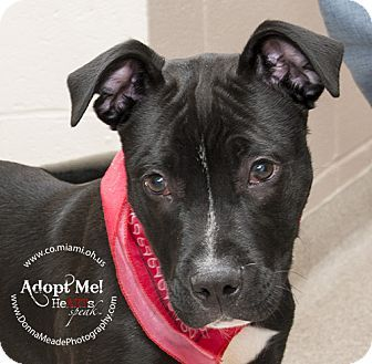URGENT!  I am at a kill shelter in Troy, OH - Pit Bull Terrier Mix. Meet Ralph a Puppy for Adoption.
