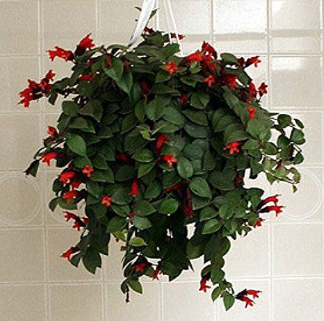 Aspca Site Says Lipstick Plant Additional Common Names