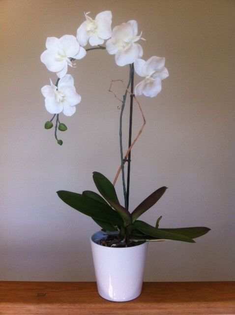 White Orchid Good Indoor Plant That S Perfect For Chic Look Might Go One Of My Pottery Pinned Containers