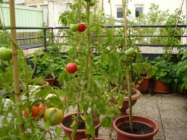 Planter la tomate cerise en pot ou jardini re arrosage - Planter tomates cerises en pot ...