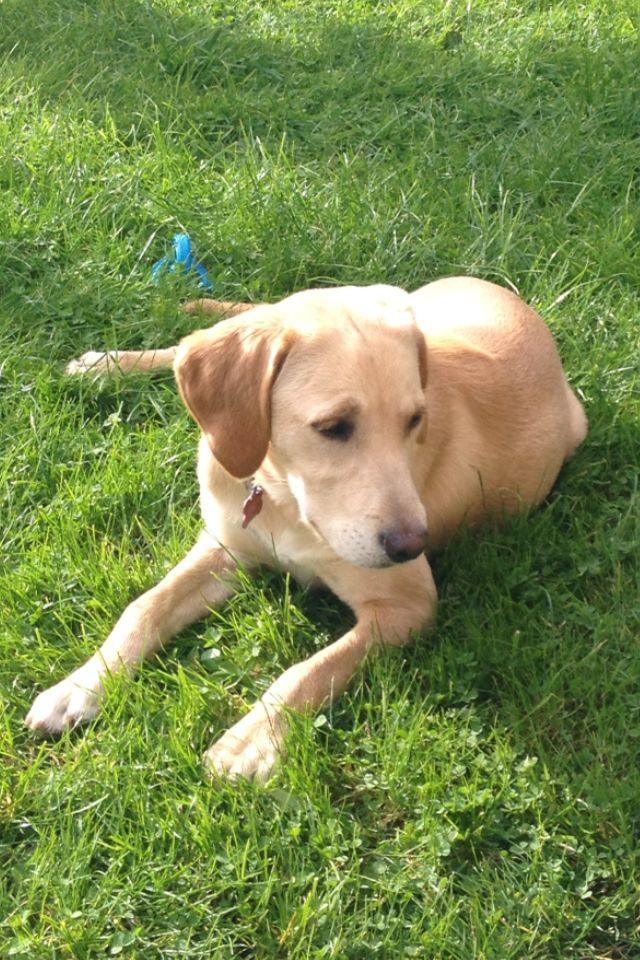 My Gorgeous 6 Month Old Golden Retriever X Labrador Retriever
