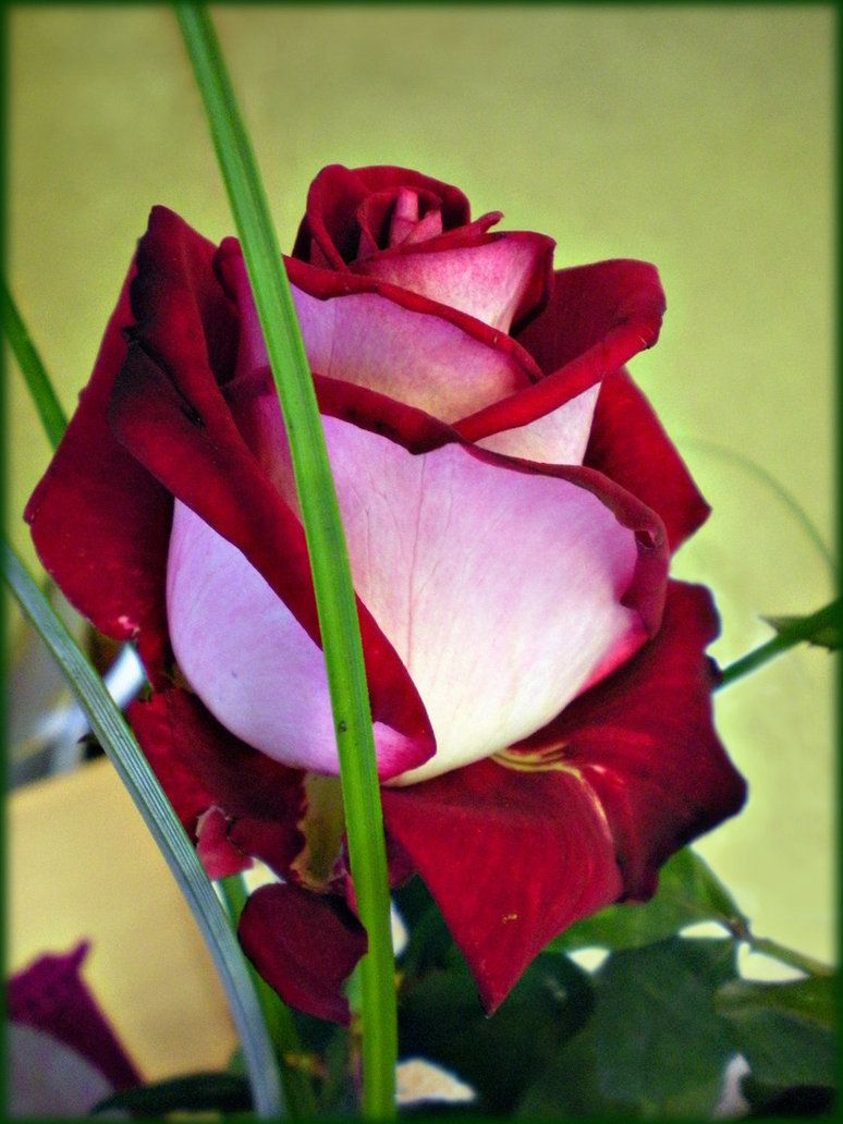 Rose Recognition