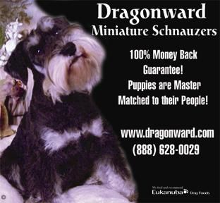 Mini Schnauzer Puppies For Sale In California And Midwest Dragonward Miniature Schnauzers Mini Schnauzer Puppies Schnauzer Puppy Miniature Schnauzer