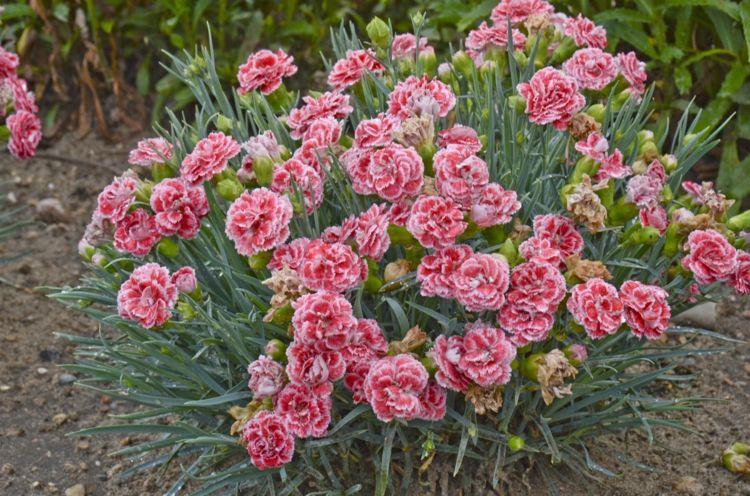Nelken Garten Pflanzen Lachsfarbe Idee Strauss Natur Gartenarbeit Garten Pflanzen Pflanzen Mehrjahrige Pflanzen