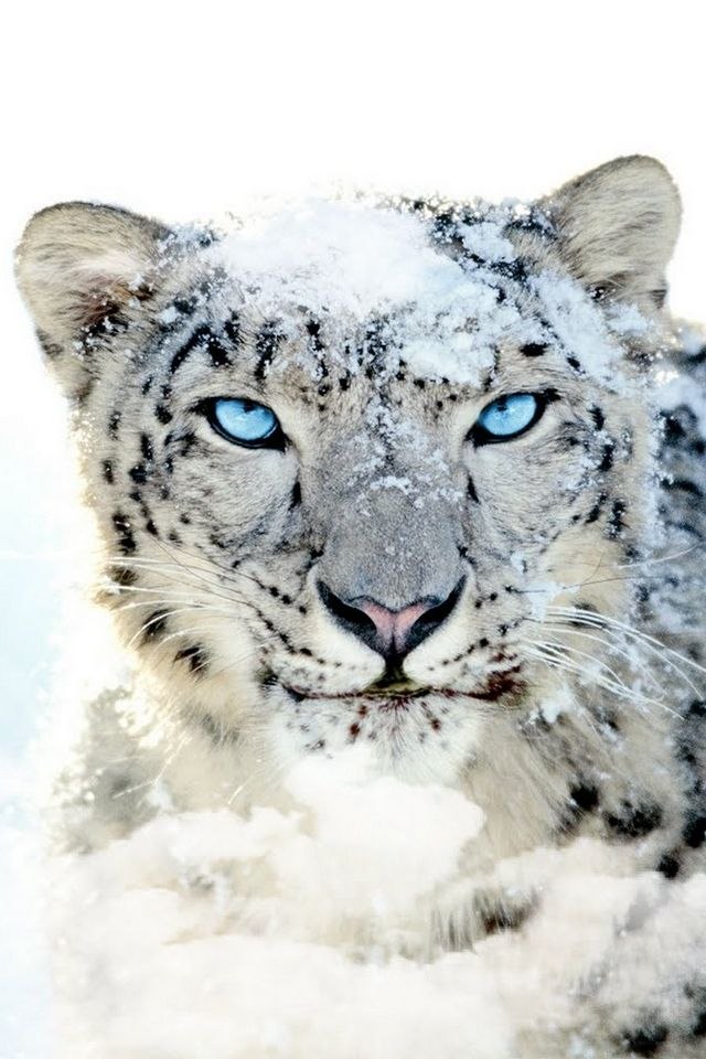 Snow Leopard With Blue Eyes Snow Leopard Blue Eye Download Iphone Ipod Touch Android Wallpapers Snow Leopard Wallpaper Snow Leopard Leopard Pictures