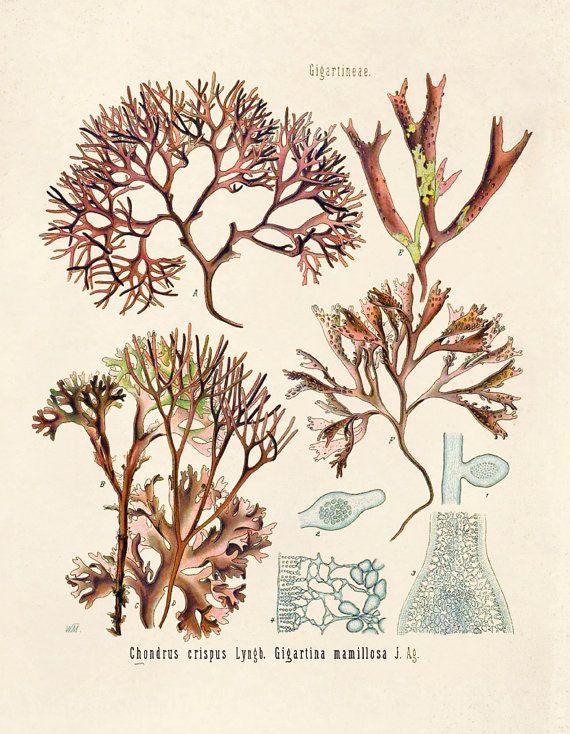 Botanical Chondrus Crispus Irish Moss Red Algae By Curiousprints