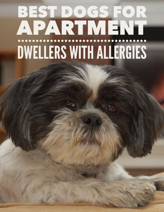 The Best Dog Breeds For Apartments Are Also Those With Allergies Most Hypoallergenic Dogs Perfect Size