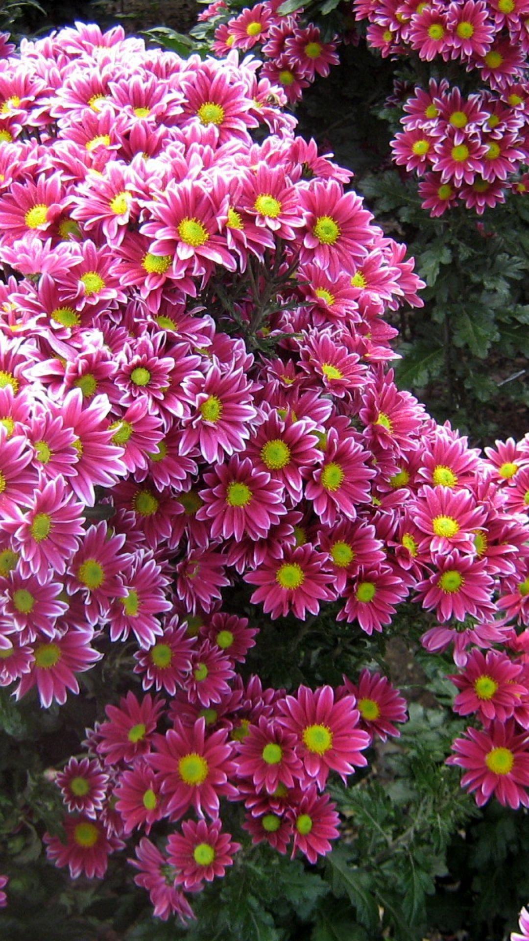 Chrysanthemums flowers garden green pretty in pink pinterest