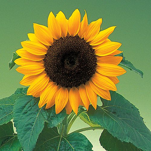 """'Sunny Smile' dwarf sunflower in a small pot will be a neat 12-15"""" high plant with one 5"""" bloom. In the ground it branches & has 4 or 5 blooms. -> Also see http://loghouseplants.com/images/sunflowerposter.pdf"""