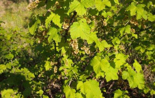 Viinimarjapensas liiterin lämmössä