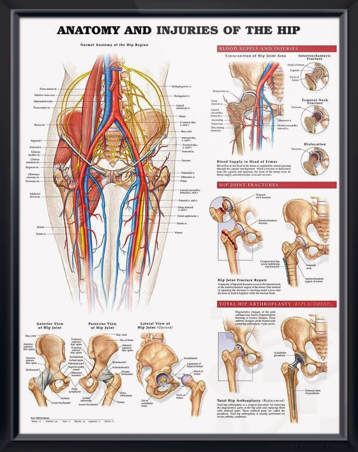 Anatomy and Injuries of the Hip Chart 20x26 | physical culture ...