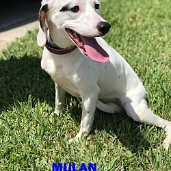 Orlando, Florida Treeing Walker Coonhound. Meet MULAN, a