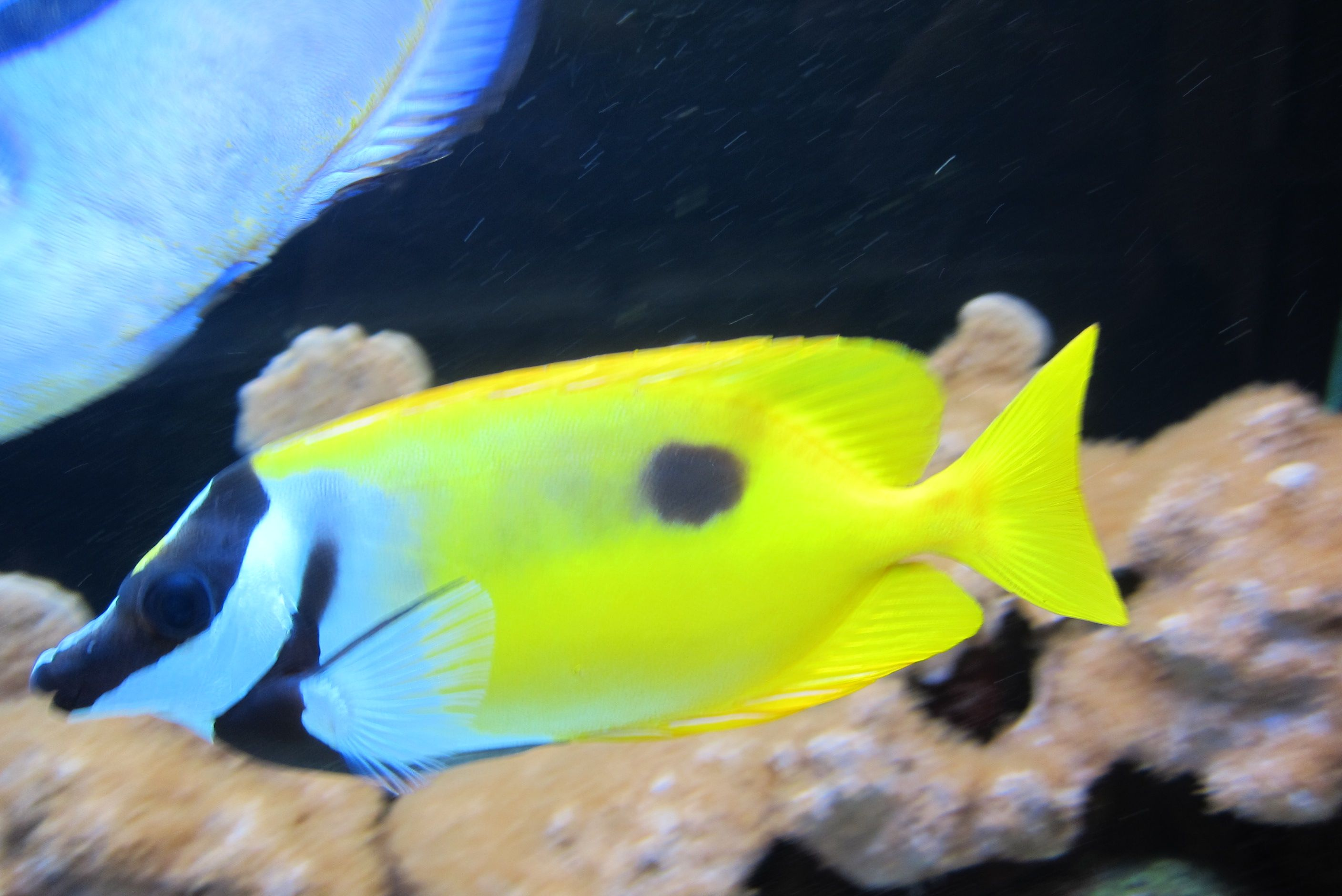 Salt water fish pets pinterest fish water and fish for Salt water fish pets