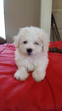 Zuchon Puppy For Sale In Shawnee Ks Adn 34336 On Puppyfinder Com