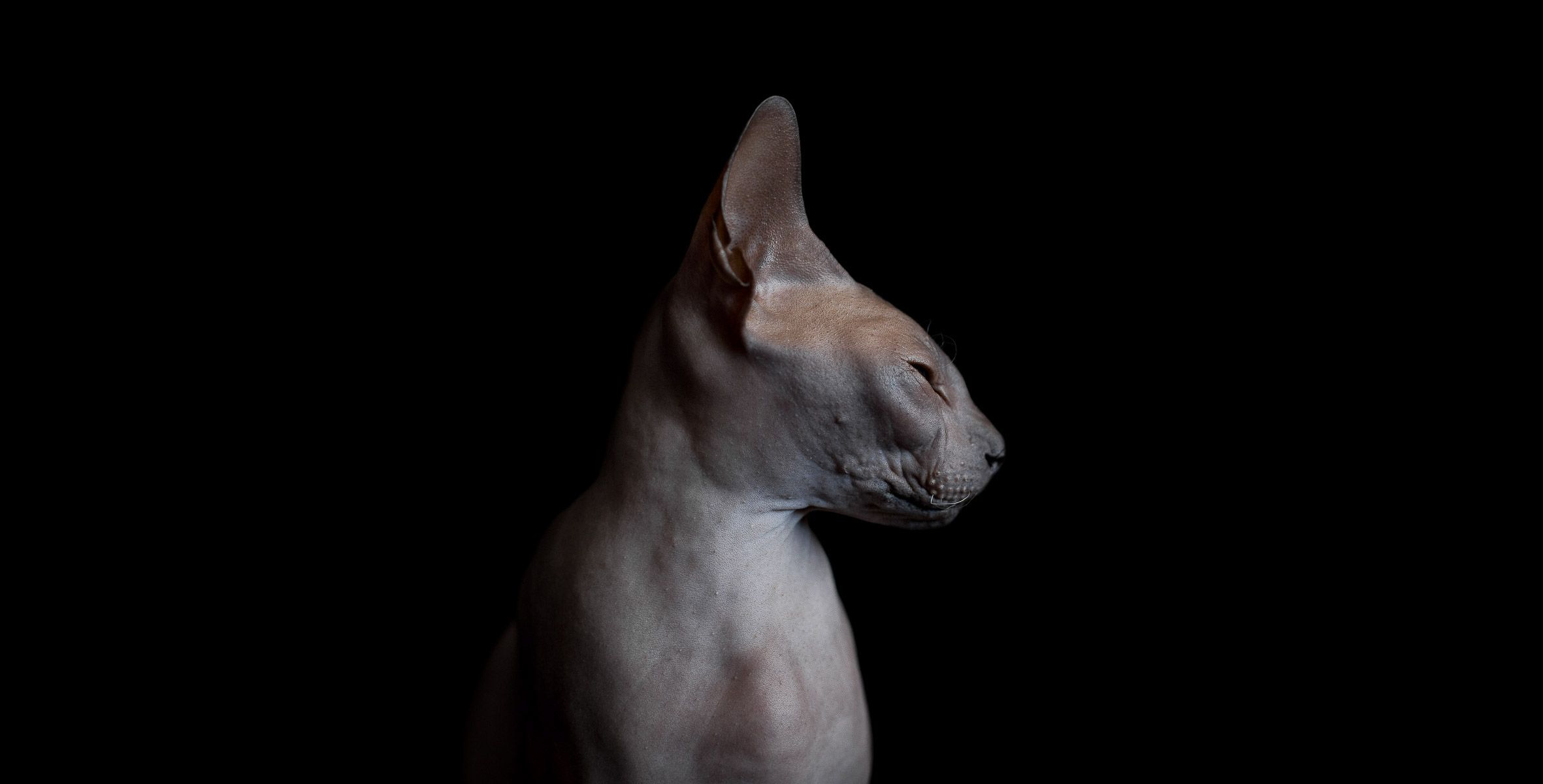 The Disturbing Beauty Of Sphynx Cats Frame Your Pet Los Angeles Pet Photographer Sphynx Cat Hairless Cat Cat Photography