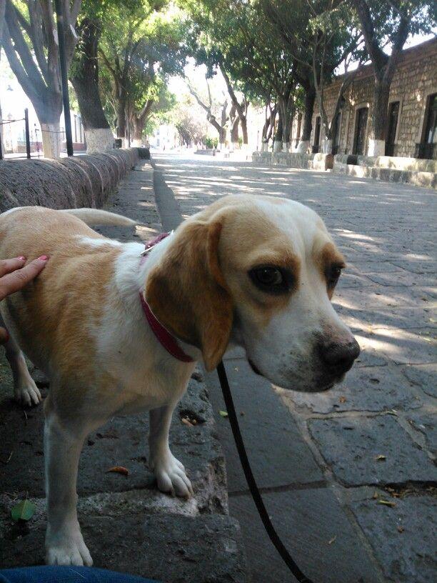 #beagle #Morelia