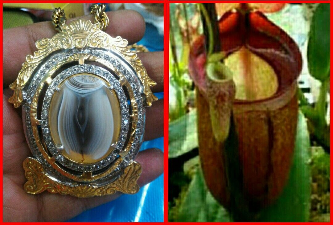 Pic Agate. Nepenthes Flower, Lucky Stone Agate
