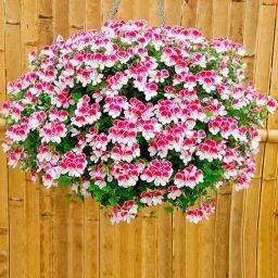 Knutschfleck Geranie Bicolor S Geranien Hangepflanzen Pflanzen