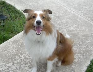 Danny is an adoptable Shetland Sheepdog Sheltie Dog in Palm Bay, FL. APPLICATION IS REQUIRED PLEASE GO TO OUR WEB SITE WWW.MIDFLSHELTIERESCUE.COM For safety reasons, an Adoption Application must be fi...