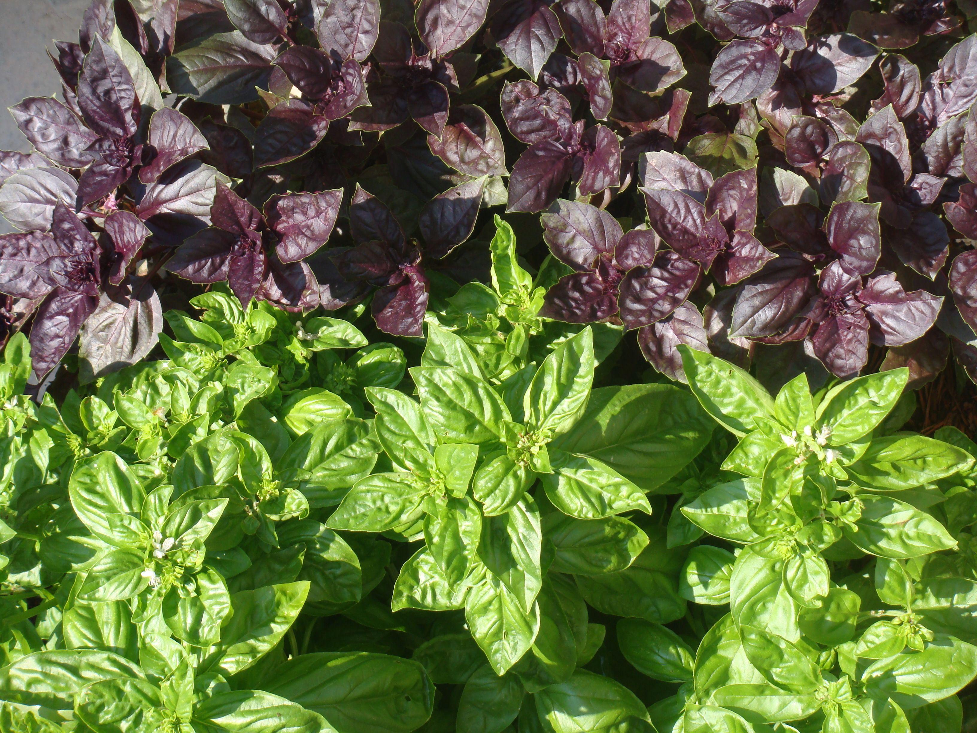 Basil Basil plant, Plants, Purple plants