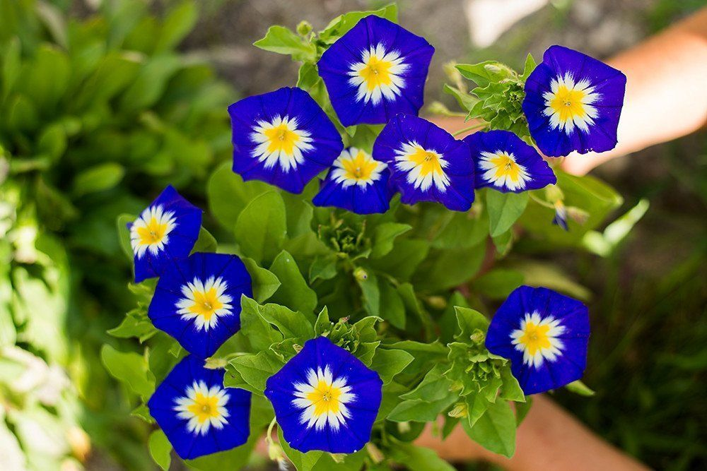 Convolvulus Royal Ensign Garden Vines Garden Seeds Flowers Morning Glory Flowers
