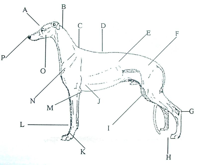 A Humorous Look at the Greyhound Anatomy | Pinterest | Anatomy and ...