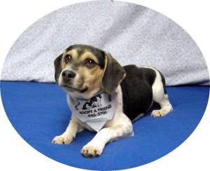 Adopt Trigger On Best Puppies Dogs Adoptable Beagle