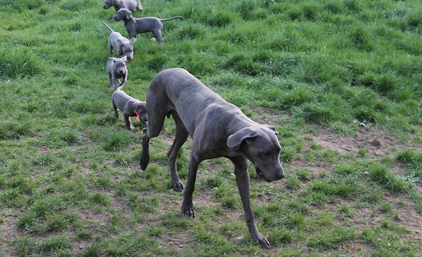 Pin By Dianna Thompson On Rachel Great Dane Breeders Whelping
