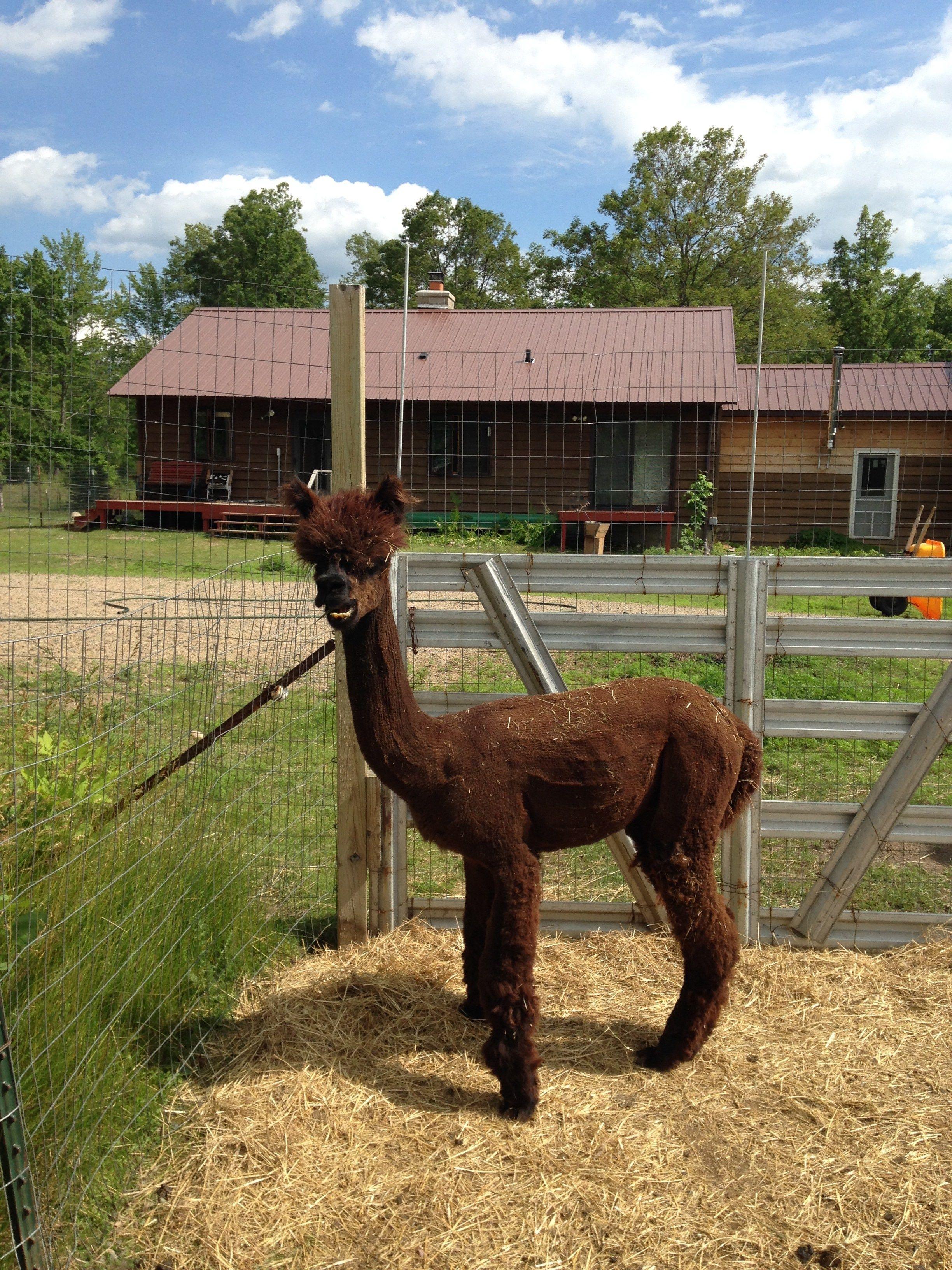 Duncan Alpaca Animals for kids, Alpaca farm, Alpaca