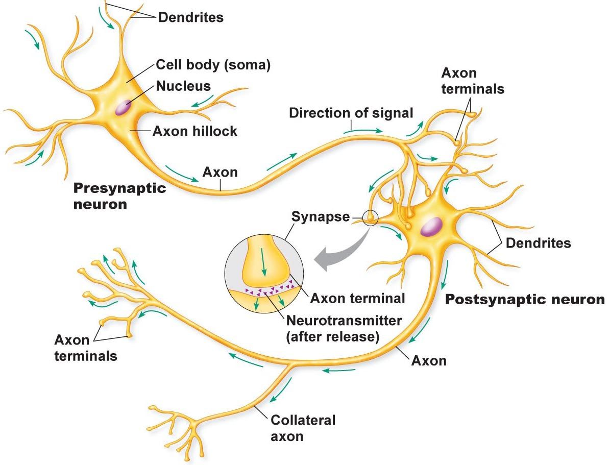 Nerve cells and electric signaling droualbfacultymjc school pooptronica Choice Image