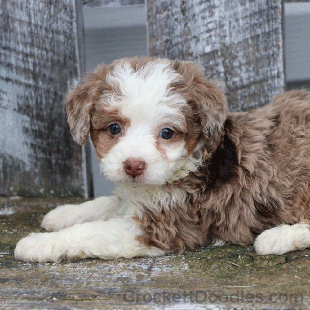Light Chocolate Brown Aussiedoodle Doodle Puppy Puppies