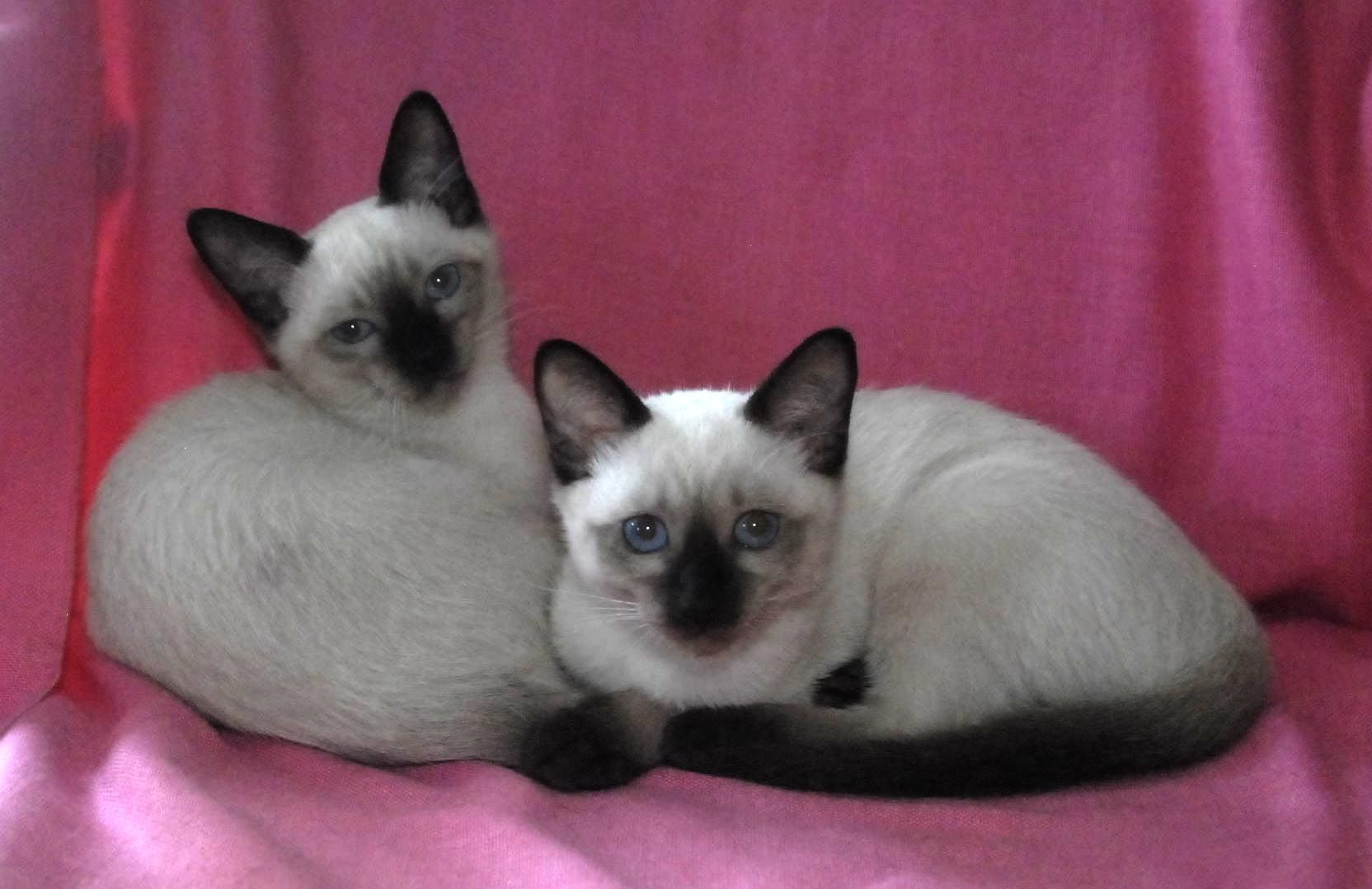 Siamese Kittens Now Dilworthtown Siamese West Chester Pa 484 315 8720 Siamese Cats Siamese Kittens Cats