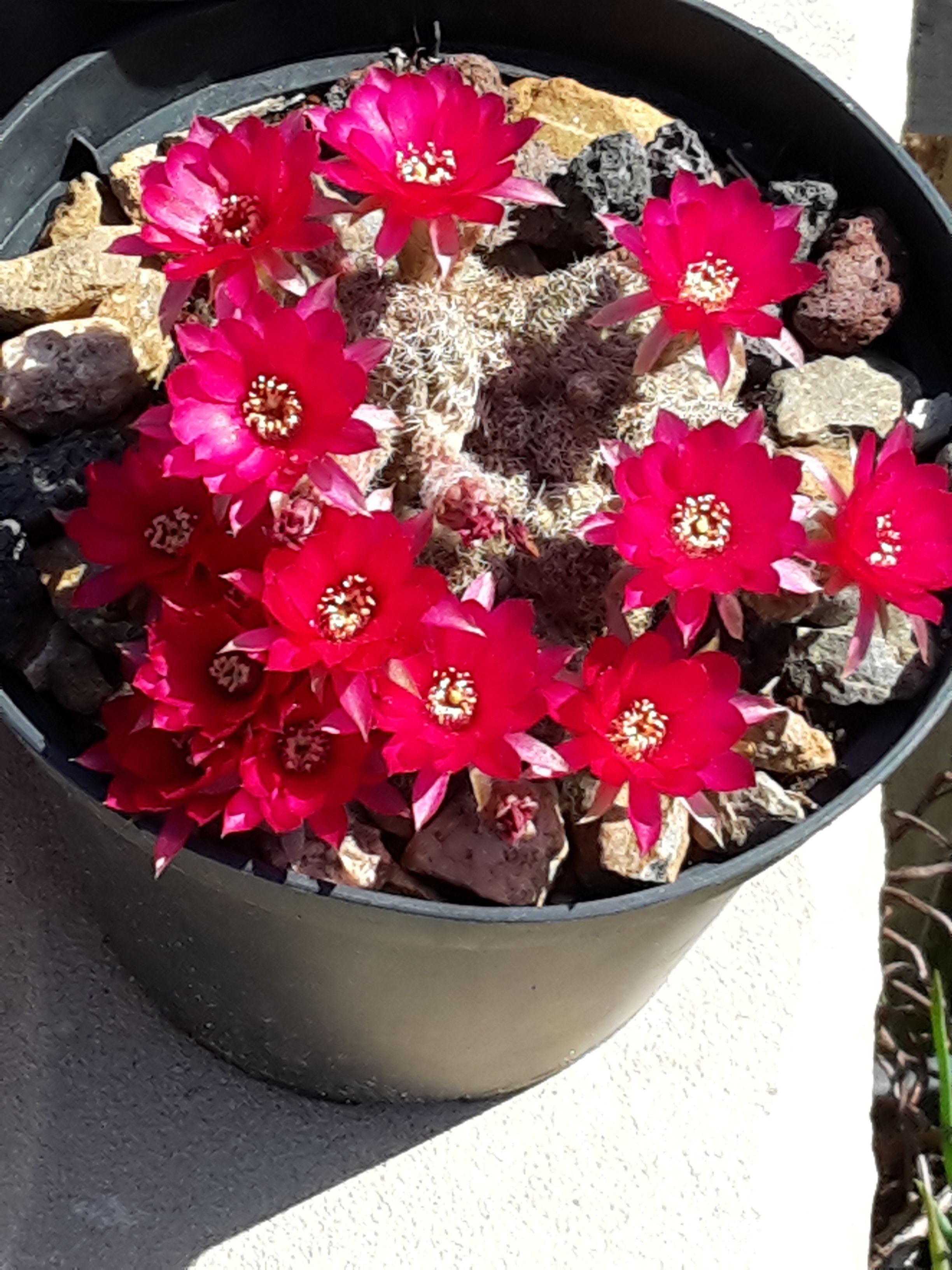 i miei fiori cremisi