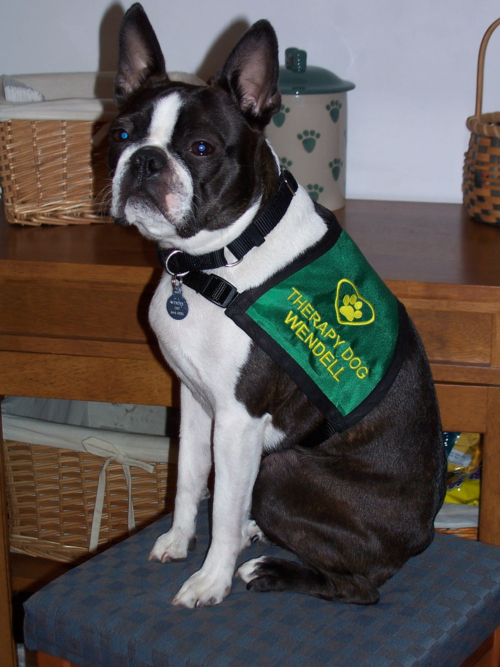 Wendell In His New Therapy Dog Vest Therapy Dogs Service Dog