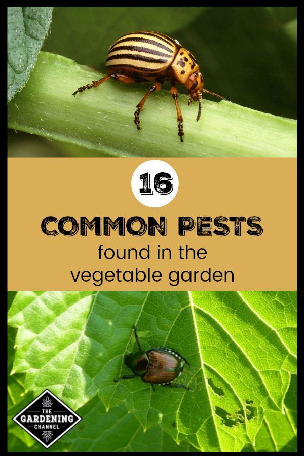 Common Garden Pests Found In The Vegetable Garden Garden 400 x 300
