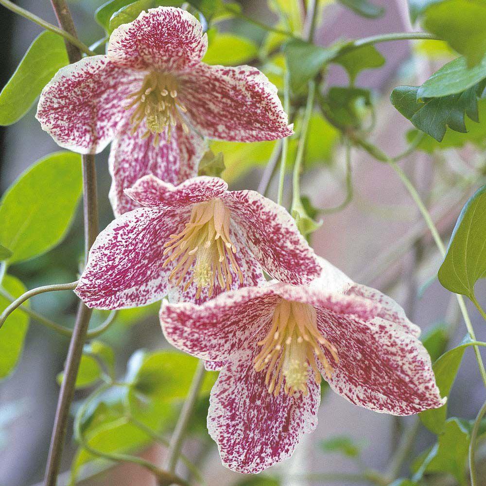 Clematis cirrhosa var purpurascens ufrecklesu large plant