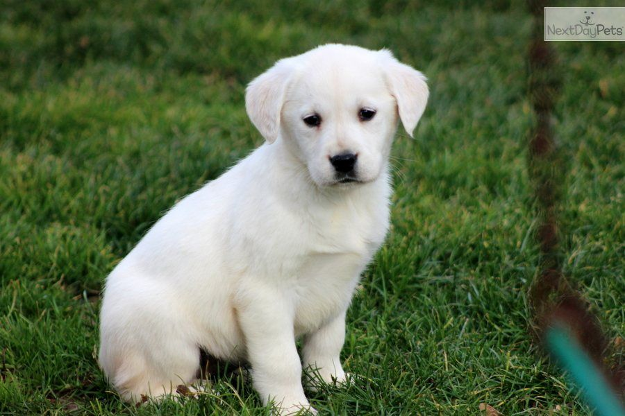 Tia Golden Labrador Female Goldador Guide Dog Puppies