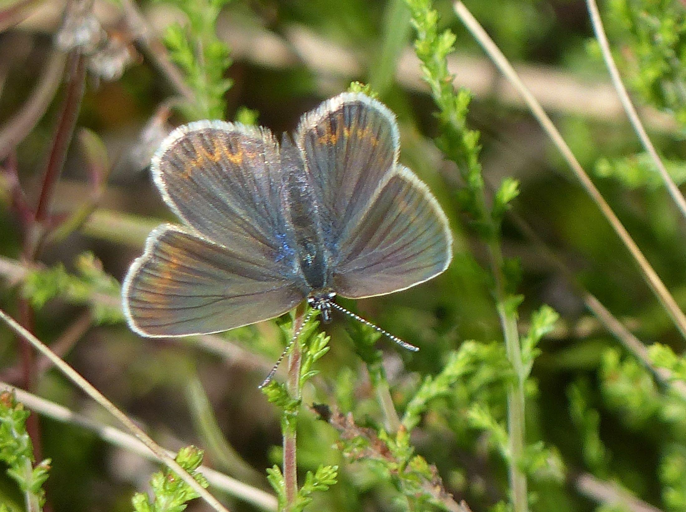 Silver studded blue, Kõrvemaa Heath, Aegviidu military area, 04/Jul/2016.