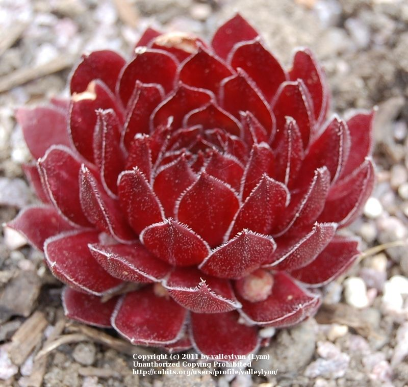 Hen and chicks 'Aglow'