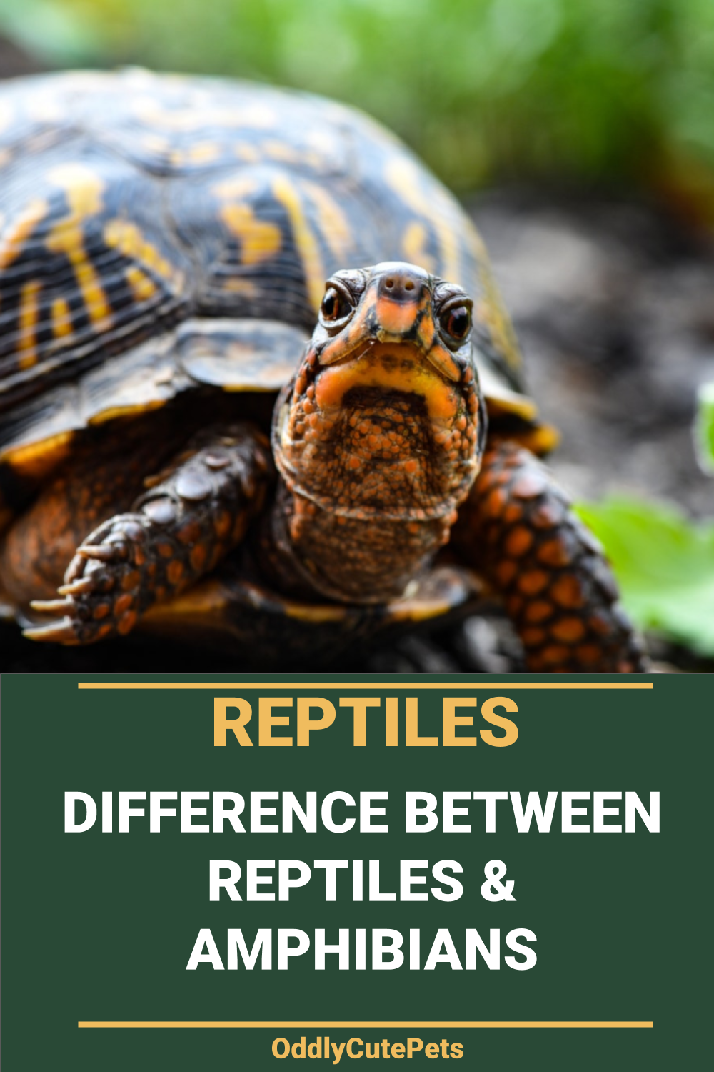 What's The Difference Between Reptiles and Amphibians in