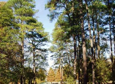 Arkansas designated the pine tree as the official state for Pine tree timber